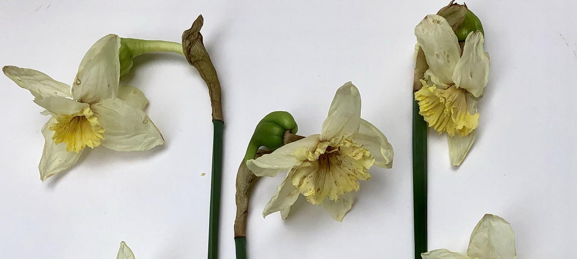 Narcisses H
